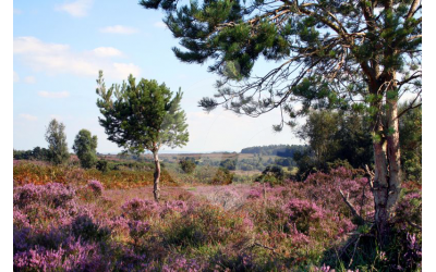 New Forest Heather, Longslade